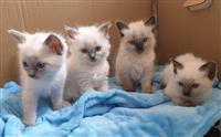 Imamo na prodaju lijepo smeće ragdoll mačića.