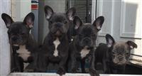Puppies Blue Bulldogs frëngjisht
