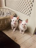 Sijamski mačići traže novi dom