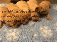 Lijepi zlatni retriver X Labradorski štenci