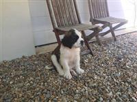 Bernard Pups za prodaju