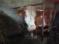 Prodajem rasnu kravu