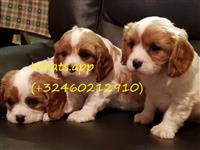 Kavalir King King Spaniel Dogs and Puppies for sal