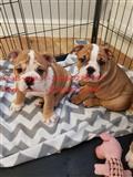 Zdravlje Testirani Engleski buldog štenci za proda