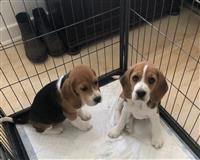 Dostupni su vrhunski beagle mladunci