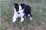 Lijepi štenci Border Collie
