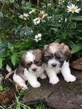 Prekrasni psi Ših Tzu
