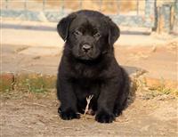 Labradori, stenci crne i cokoladne boje