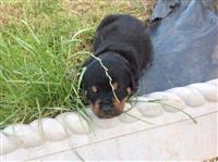 Prekrasni Kc Registrirani Rotvajlerski štenci