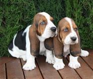 Prekrasna Baset štenci