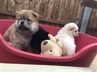 Lijepi štenci Chow Chow