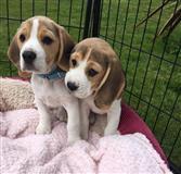Prekrasni pedigree Beagle štenaca