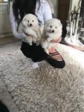 Japanski špicevi štenci