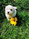 Malteški psi i štenci za prodaju