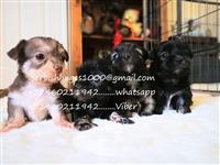 Kc Reg Maltese Girl Pup potpuno vakcinisana