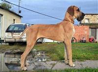 NEMACKE DOGE - tri vrhunska psa