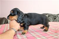 Prekrasna Rottweiler Pup za prodaju