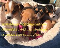 Prekrasni mali Jack Russell štenci
