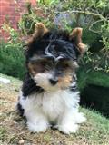 Prodaju se psi i štenad yorkshire terijera
