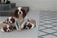 Lijepi kavalirski kralj Charles Puppies