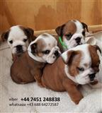 English Bulldogs štenci