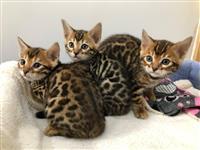 Amazing Bengal Kittens za prodaju