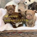 Prelepa pedigree Chihuahuas