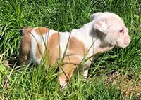 Beautiful English Bulldog puppies Ready