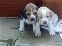 Bigl štenci