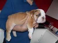 Prodaju se engleski psi buldogi i psići