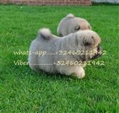 Chow Chow štenci bijeli i crni