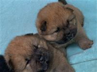 Chow chows availabel kc reg