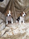 Beagle Puppies za novi dom