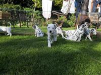 Akc dalmatinski štenad