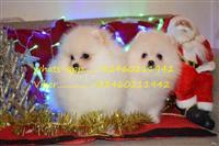 Prekrasni pomeranski štenci za rehoming
