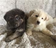 Njemački ovčarski psi i štenad