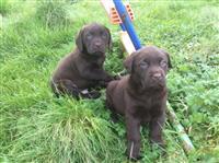 Čokoladni Labrador štenci