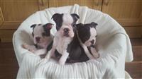 Awesome Boston Terrier štene na prodaju