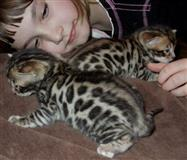 Bengal macici smedja i zlatna