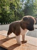 Prekrasni američki štenci
