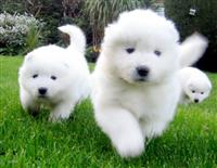 Samojedi štenci za usvajanje