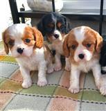 Neverovatan kvalitet Kavaljeri Kralj Čarls štene