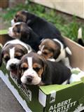 Lijepi pedigree Beagle štenaca Pra Clear