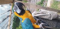 Prekrasna plava i zlatna ara s kavezom