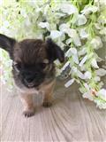 lijepa chihuahua štenci za prodaju