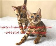 Zapanjujući bengalski mačići za prodaju