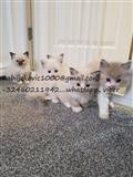 Ragdoll mačići za prodaju