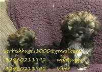 Shi Poo Pups (licencirani domaći uzgajivač)