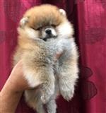 Pomeranac Boo štenci