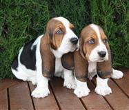Kc Basset Hound štene